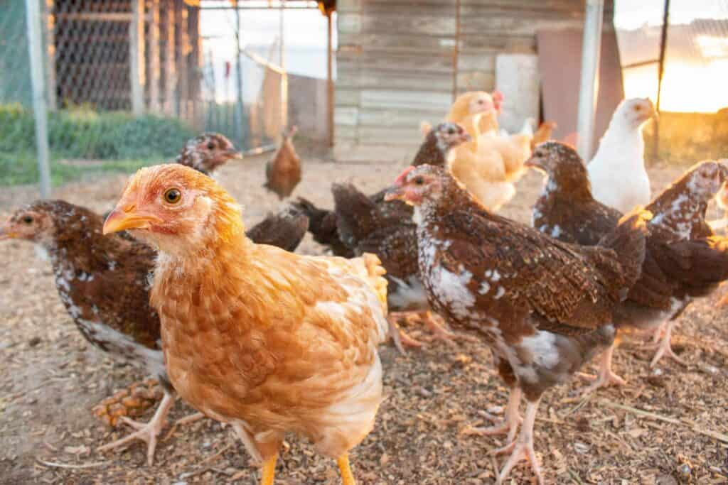 7 Essentials for Backyard Chickens