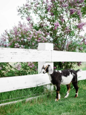 The Supplies You Need for raising Goats