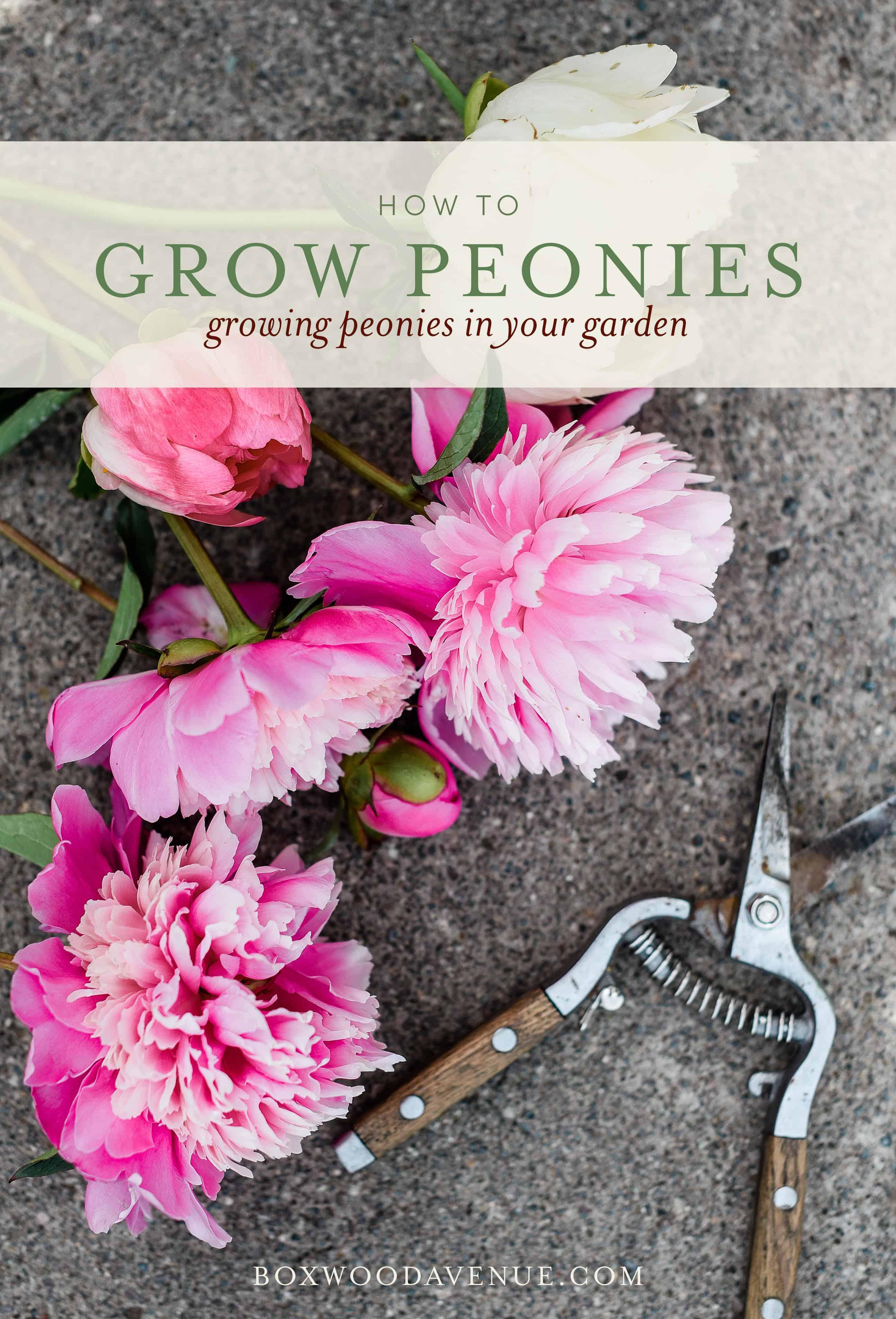 how to grow peonies | simple tutorial