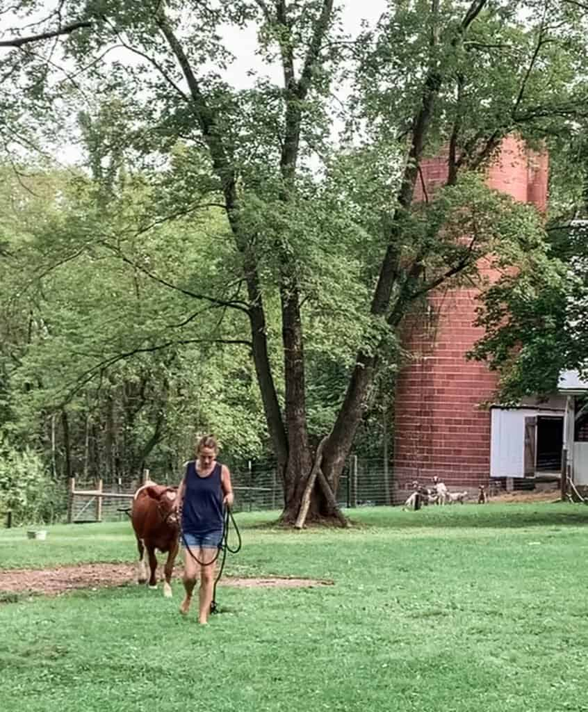 women halter breaking a calf and leading it through a grass field.