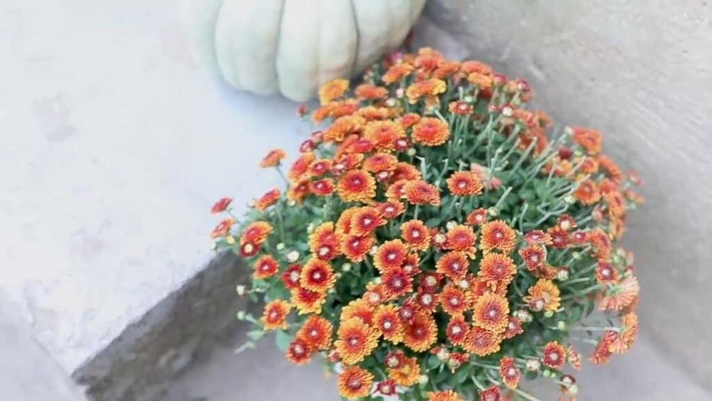 orange mums on stairs with green pumpkins