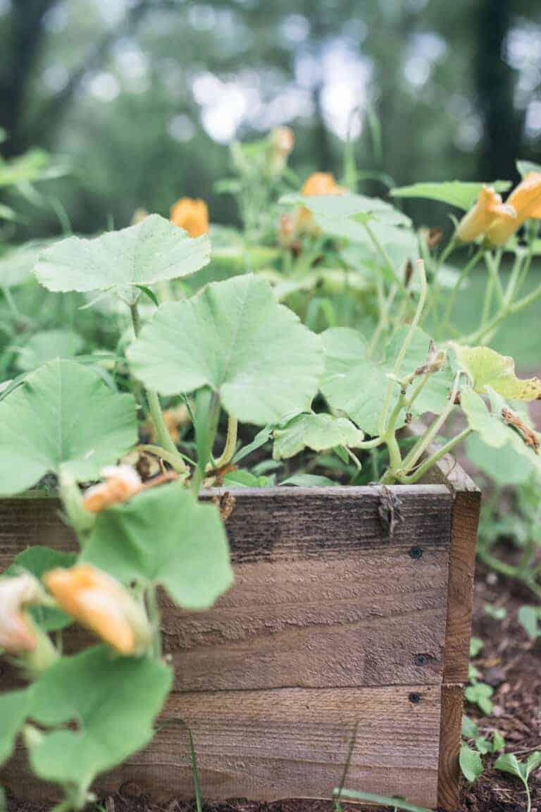 pumpkins growing in a raised bed