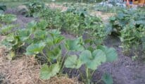 vegetables growing in rows in a garden