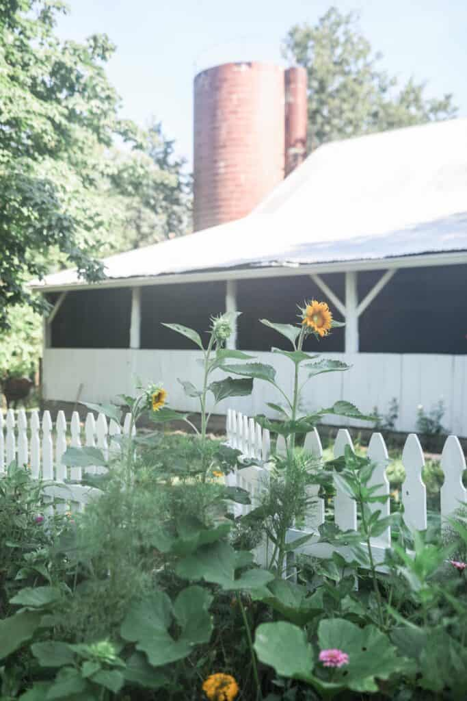 cut flower garden growing with a sunflower towering over. A white barn in the background
