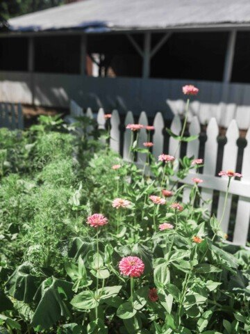 zinnias in July with a white picket fence and barn in the background